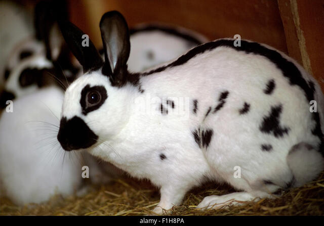 Black Rabbits Stock Photos & Black Rabbits Stock Images ...