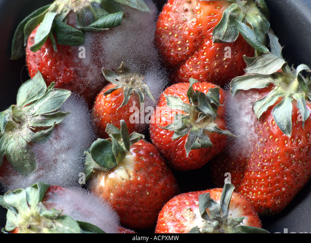 Rotten Strawberries Moldy Strawberries Sto...