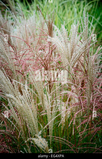 Ornamental grasses border grasses stock photos for Long ornamental grass