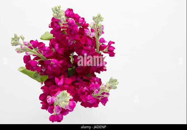 Matthiola incana stock photos matthiola incana stock images alamy bunch of burgandy stock flowers stock image mightylinksfo Gallery