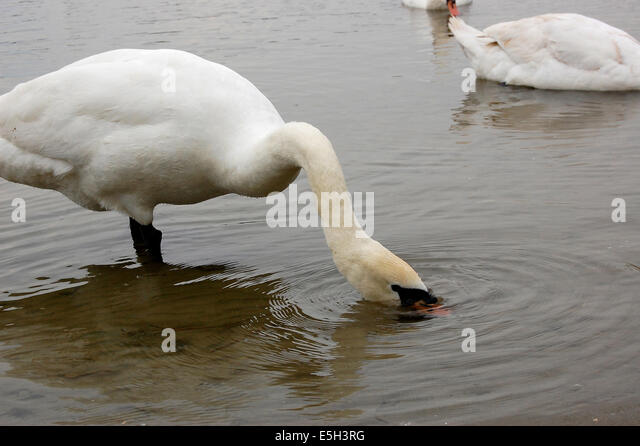 Swans By The Riverside Stock Photos Swans By The Riverside Stock Images Alamy