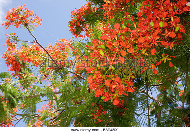 Royal Poinciana Stock Photos Royal Poinciana Stock