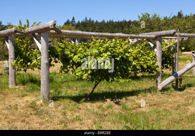 Grapevine On Wood Trellis - Stock Image