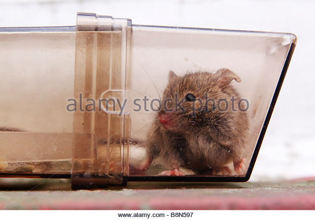 how to catch a field mouse alive