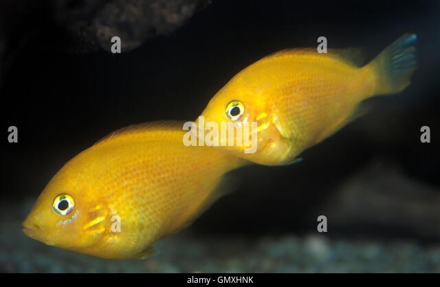 Orange Chromide (Golden variety), Etroplus maculatus. Couple. Aquarium ...