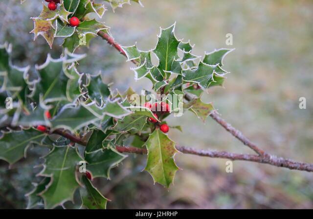 Baum mit raureif stock photos baum mit raureif stock for Baum mit roten beeren