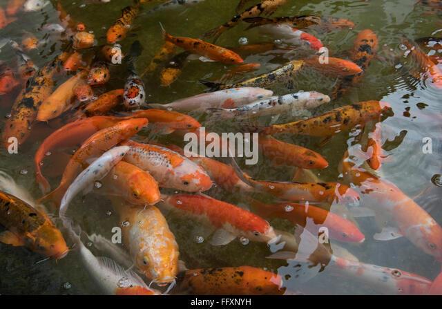 Koi carp stock photos koi carp stock images alamy for Ornamental pond fish uk