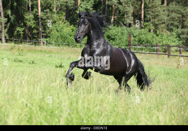 Friesian Horse Black Stallion Galloping Stock Photos ...
