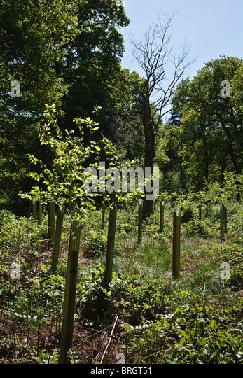 Old dead oak tree stock photos