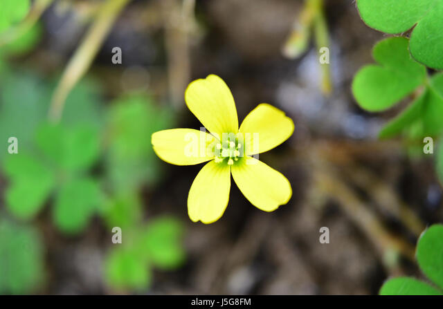 Yellow clover flower stock photos yellow clover flower stock close up of little yellow flower with blurred clover leaves background stock image mightylinksfo