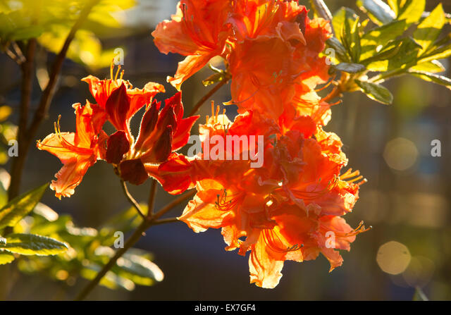 Orange Azalea Tree