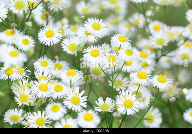 small white daisies stock photos  small white daisies stock, Beautiful flower