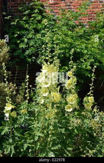 Yellow hollyhock flowers