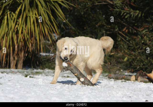 golden retriever puppies in snow stock photos golden retriever puppies in snow stock images. Black Bedroom Furniture Sets. Home Design Ideas