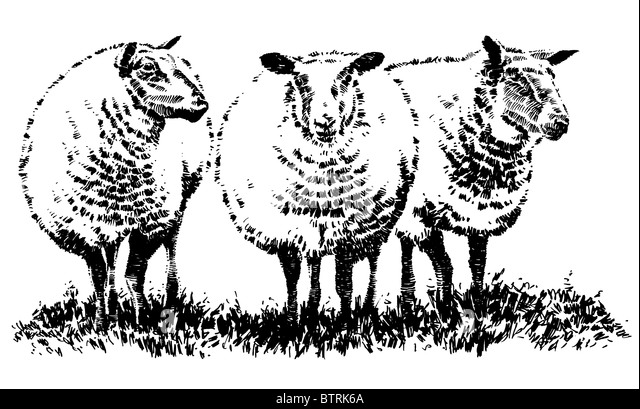 Line Drawing Images Of Sheep : Drawing sheep stock photos images