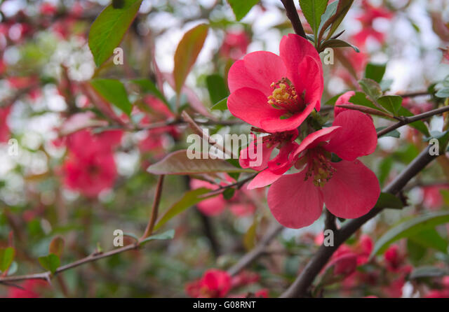 quince flowers in the spring with a blank space for text stock image - Quince Flower
