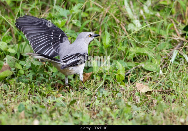 a mockingbird adult