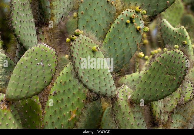 Opuntia echios var echios stock photos opuntia echios for Cactus santiago