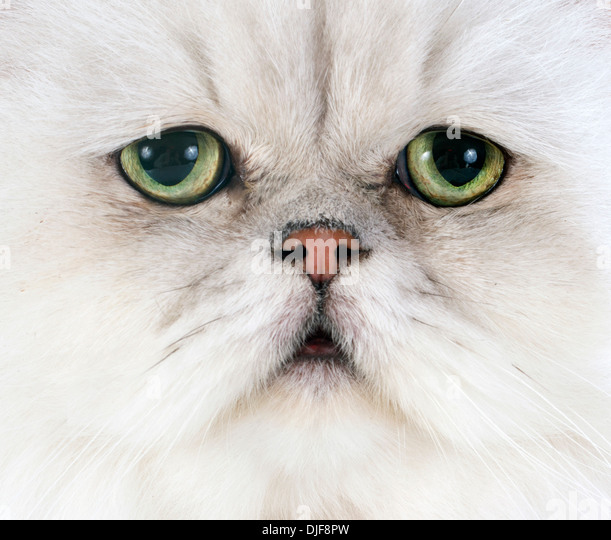 Persian Chinchilla Stock Photos & Persian Chinchilla Stock ...