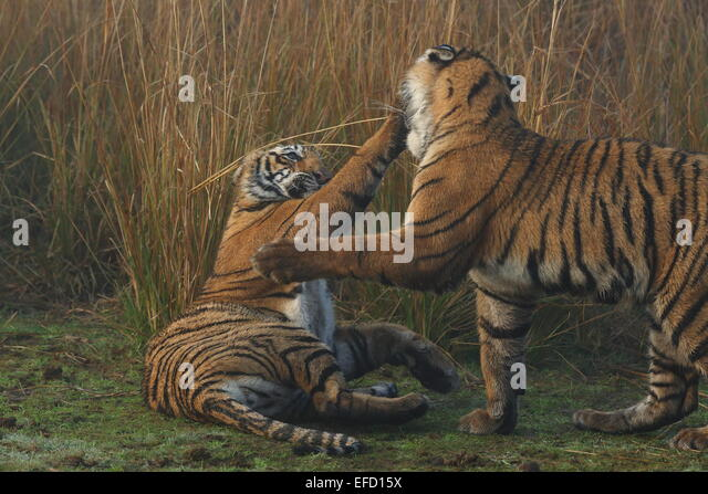 Tigress Cubs In Ranthambhore Tiger Stock Photos & Tigress ...