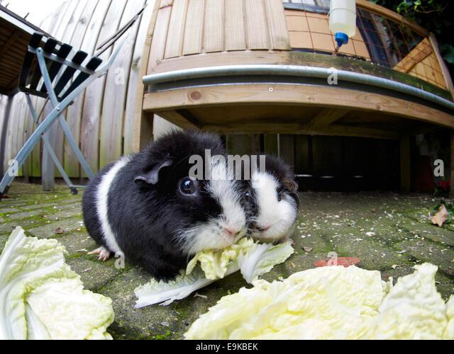 Charles Lamb guinea pigs