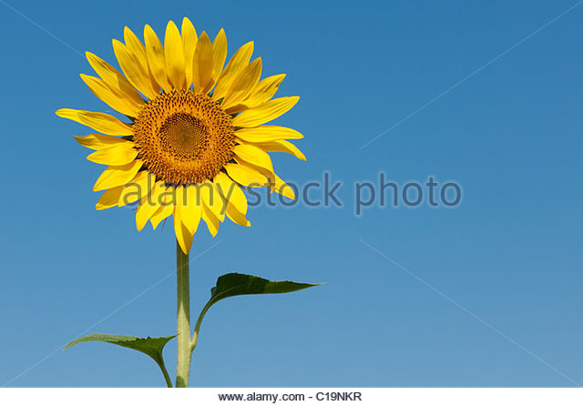 hindu single men in sunflower The history of agriculture in india dates back to indus valley civilization era and even men and women at work in rice no single state of india is.