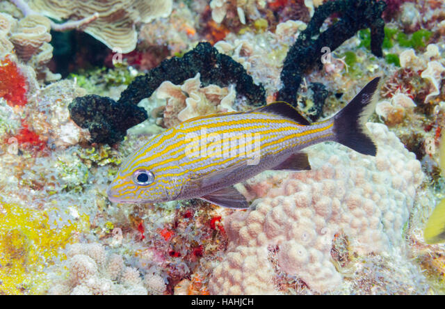 Grunt stock photos grunt stock images alamy for Caesars tropical fish