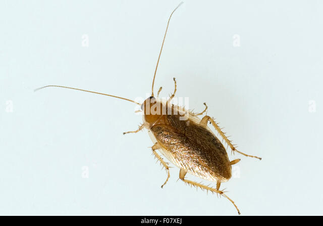 german cockroach blattella germanica stock photos german cockroach blattella germanica stock. Black Bedroom Furniture Sets. Home Design Ideas