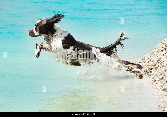 Jumping Dog Stock Phot...