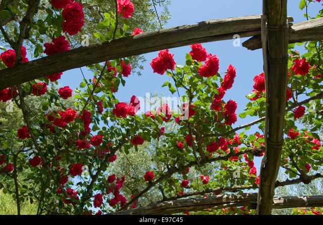 Roses In Garden: Trellis Roses Stock Photos & Trellis Roses Stock Images