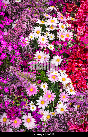 Daisies and spring flowers along the Meguro River, Tokyo, Japan. - Stock Image
