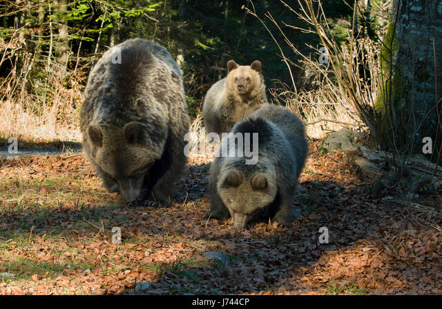 Brown bear from mountains of Croatia - Stock Image