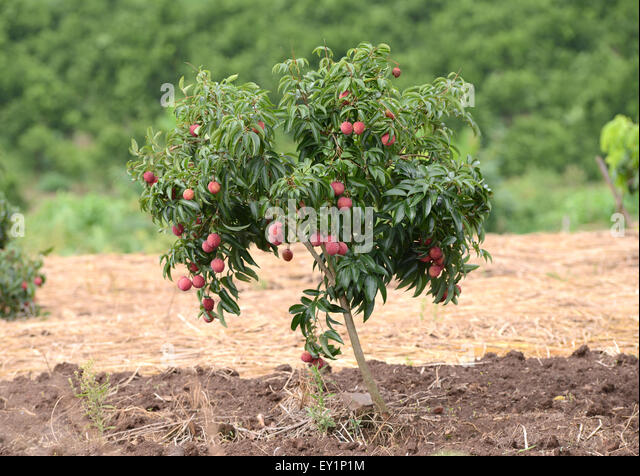 lychee plant stock photos lychee plant stock images alamy. Black Bedroom Furniture Sets. Home Design Ideas