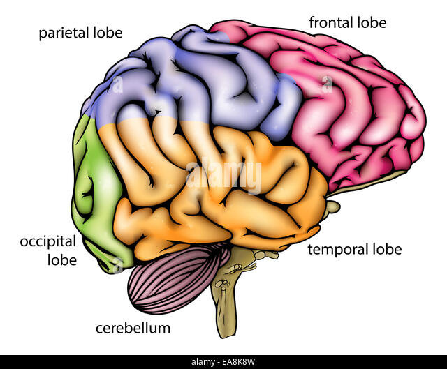 Brain Diagram No Labels More Information Kopihijau