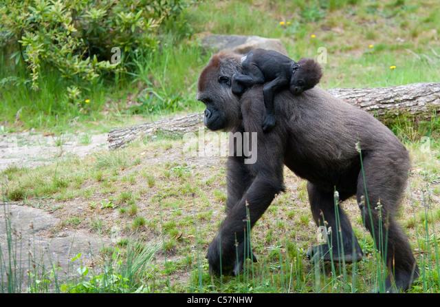 Baby Silverback Gorillas