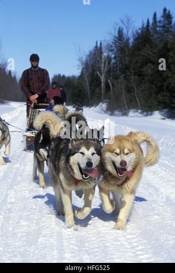 Siberian Husky Quebec Mushing Dogs St...