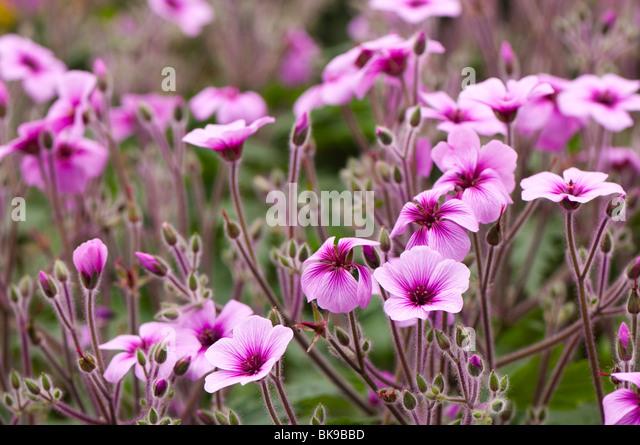 MADEIRA CRANESBILL * Geranium maderense * GIANT GERANIUM * HALF ...