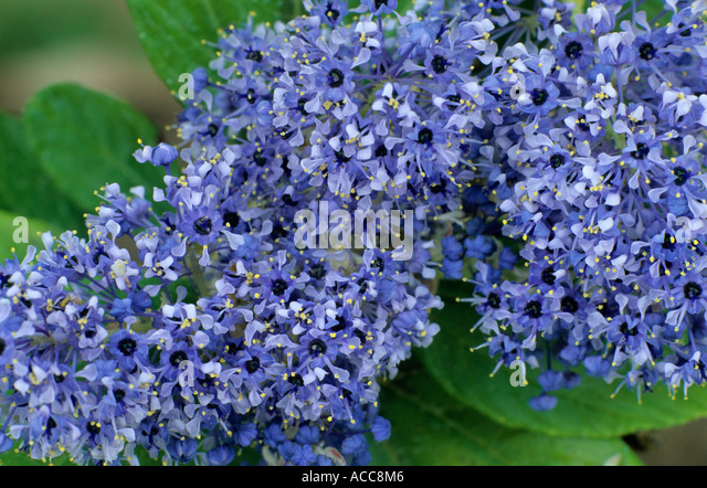 ceanothus arboreus trewithen blue stock photos ceanothus. Black Bedroom Furniture Sets. Home Design Ideas
