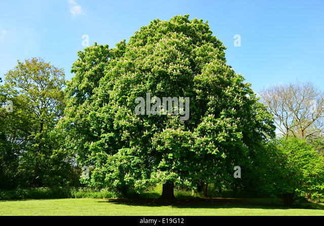Horse chestnut tree  Ruislip  London Borough of Hillingdon  Greater London   England. Ruislip High Street Stock Photos   Ruislip High Street Stock