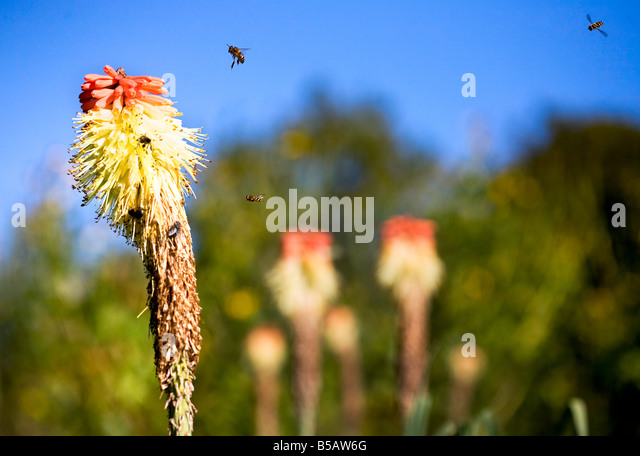 Red Hot Poker Kniphofia Stock Photos & Red Hot Poker ...