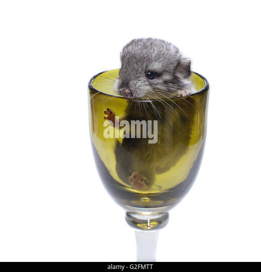 baby rat stock photos baby rat stock images alamy. Black Bedroom Furniture Sets. Home Design Ideas