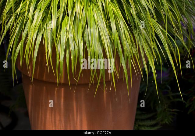 Ornamental grass pot stock photos ornamental grass pot for Tall grasses for pots