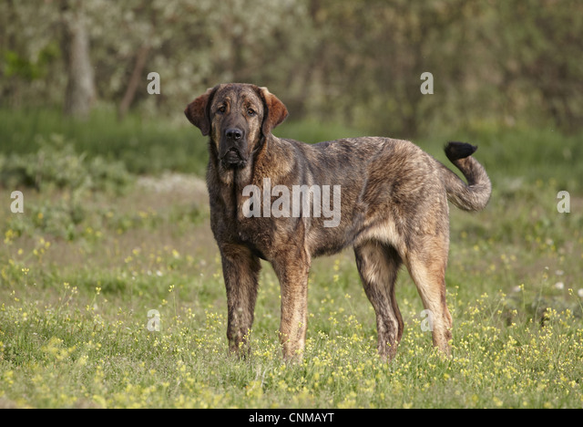 Spanish Mastiff Dogs For Sale