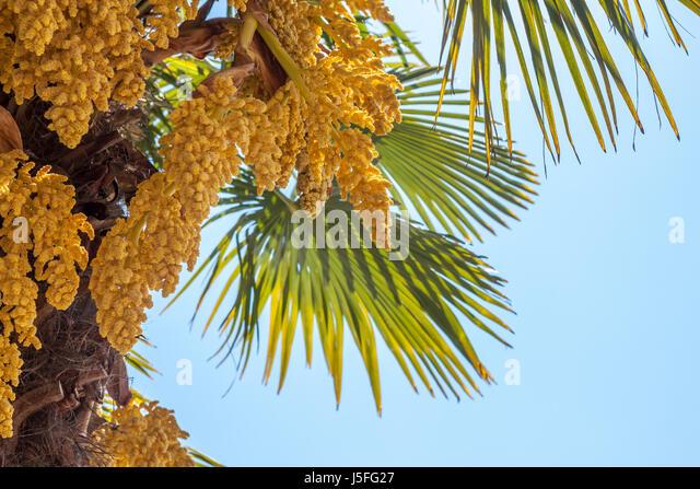 Palm tree flower yellow stock photos palm tree flower yellow stock palm tree blooming yellow flowers against blue sky stock image mightylinksfo