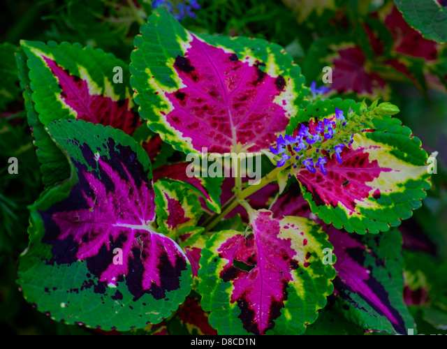 coleus plant stock photos  coleus plant stock images  alamy, Natural flower