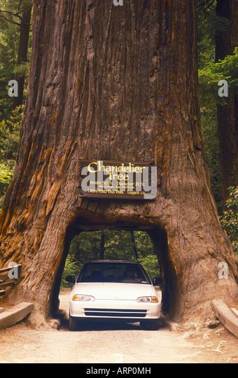 Giant Sequoia Trees Car Giant Stock Photos & Giant Sequoia Trees ...