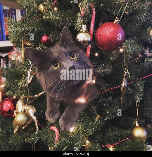 grey cat in a christmas tree looking innocent stock image