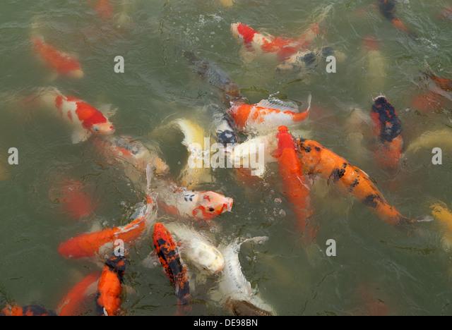 School Fish Goldfish Pond Stock Photos School Fish Goldfish Pond Stock Images Alamy