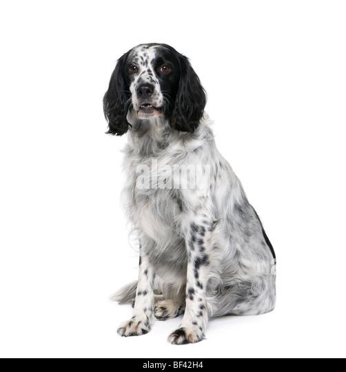 Black And White Spaniel Stock Photos & Black And White