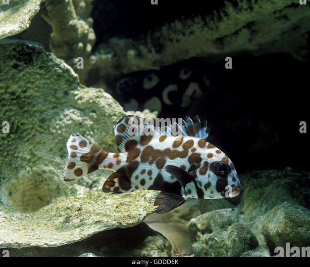 Harlequin fish stock photos harlequin fish stock images for Sweet lips fish